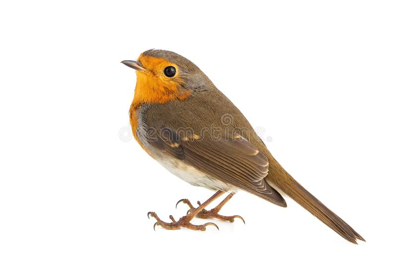 Robin isolated on a white background. European robin Erithacus rubecula royalty free stock photos