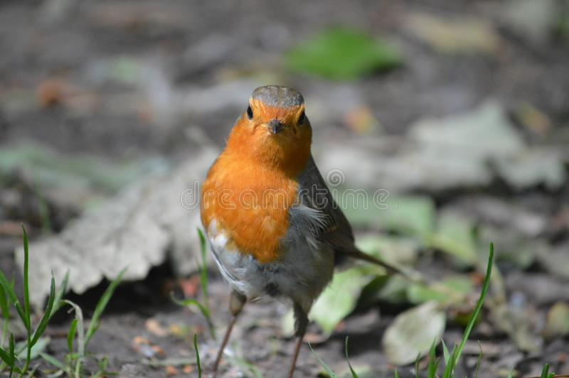 Robin looking at the camera royalty free stock images