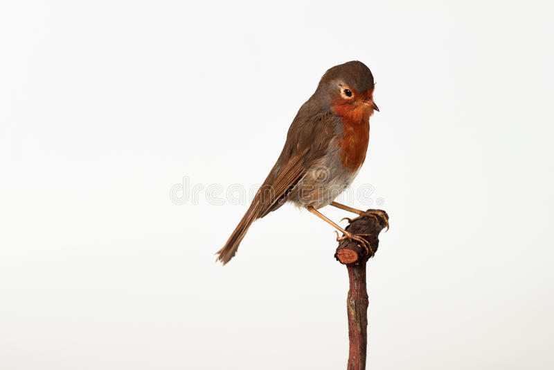 Robin Met rode borst isoleerde op wit royalty-vrije stock foto