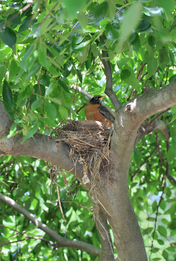 Robin nel suo nido fotografie stock libere da diritti