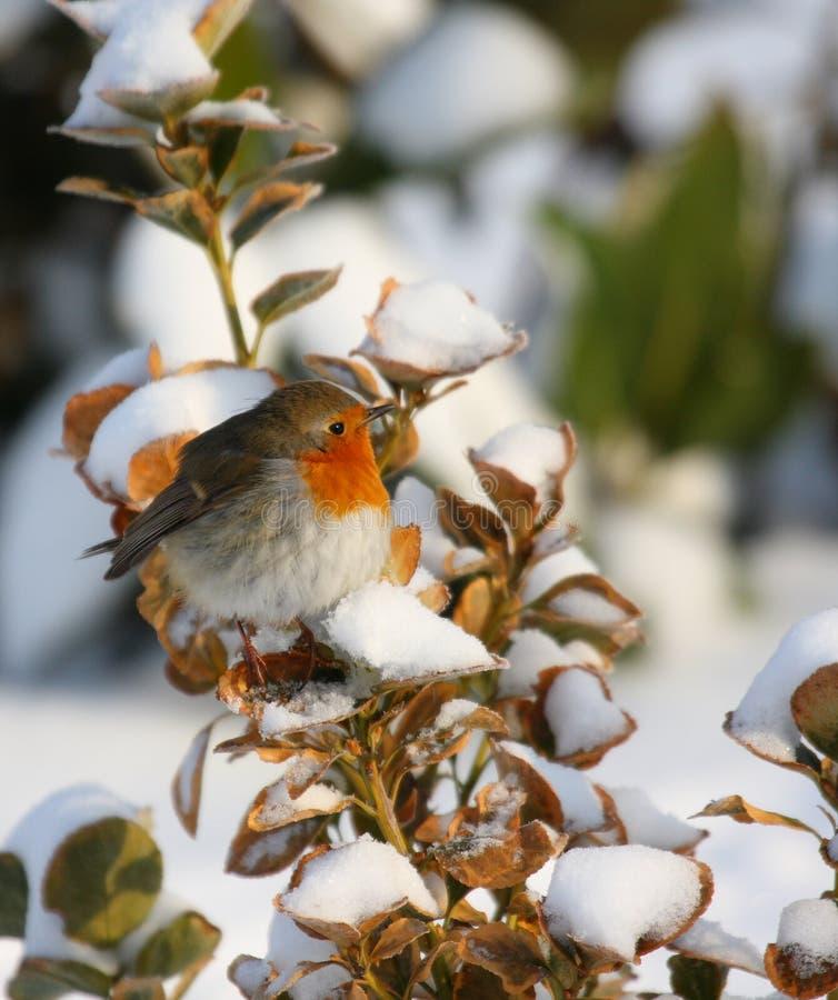 Robin nell'orario invernale immagine stock