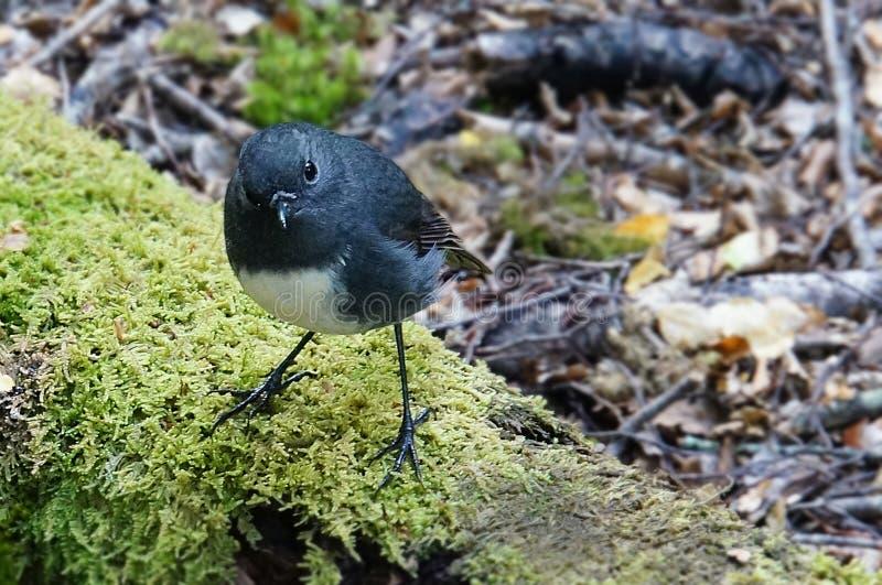 Robin noir dans la forêt néo-zélandaise images libres de droits