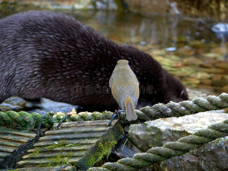 Robin op een brug die op een otter letten stock afbeelding