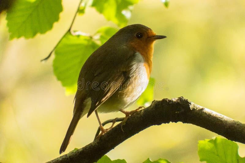 Robin op een tak royalty-vrije stock foto's