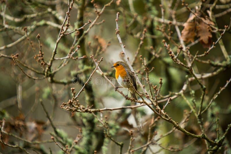 Robin op een tak royalty-vrije stock afbeeldingen
