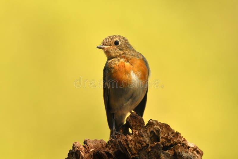 Robin op het gebied royalty-vrije stock fotografie