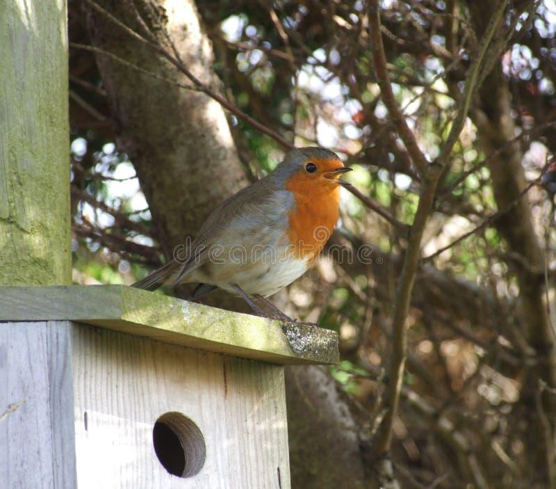 Robin op nestkastje royalty-vrije stock foto