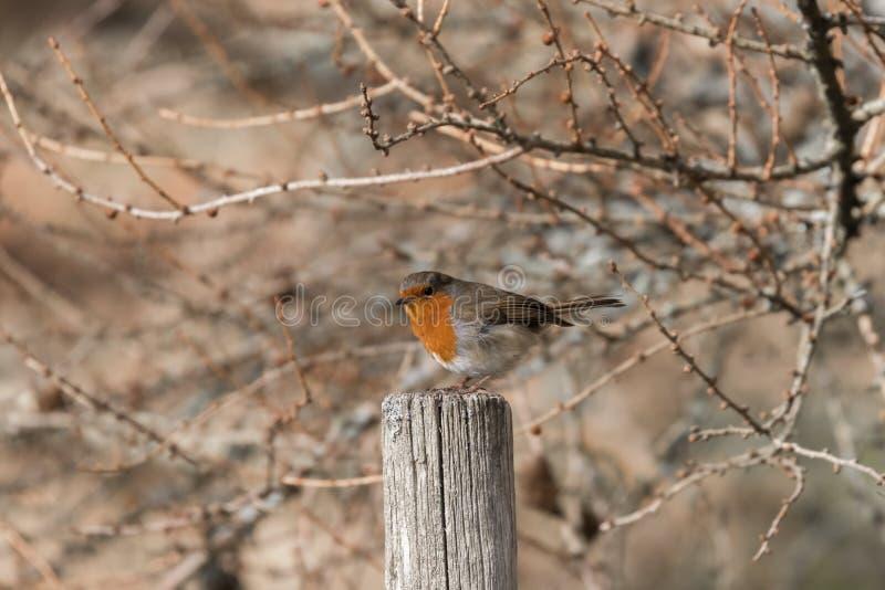 Robin op Post met wilde vegitation als achtergrond stock afbeelding