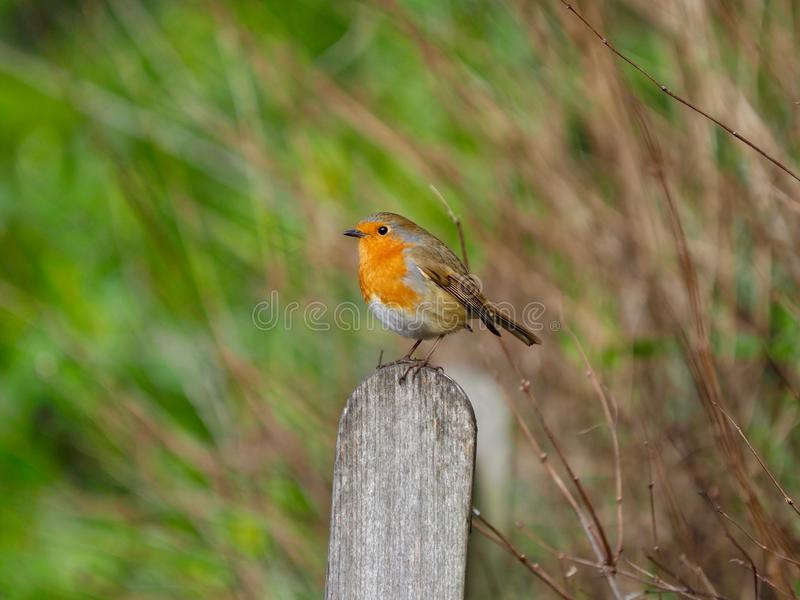 Robin på en bänk på vintern royaltyfri bild