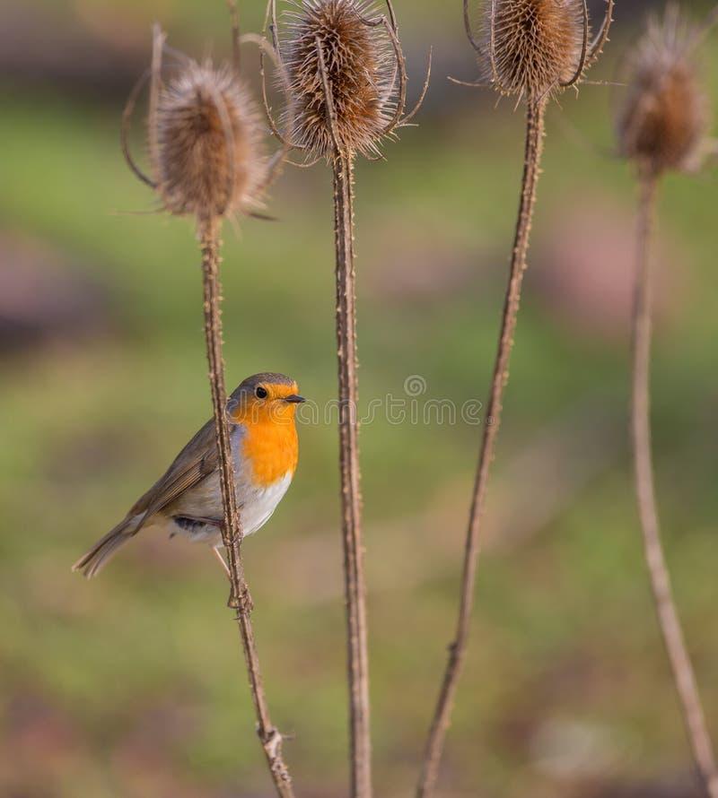 Robin på en torr thistleväxt fotografering för bildbyråer