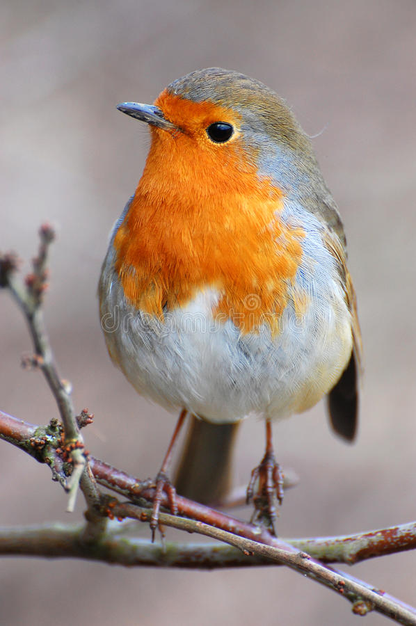 Robin on perch. English robin sat on branch in countryside royalty free stock photo