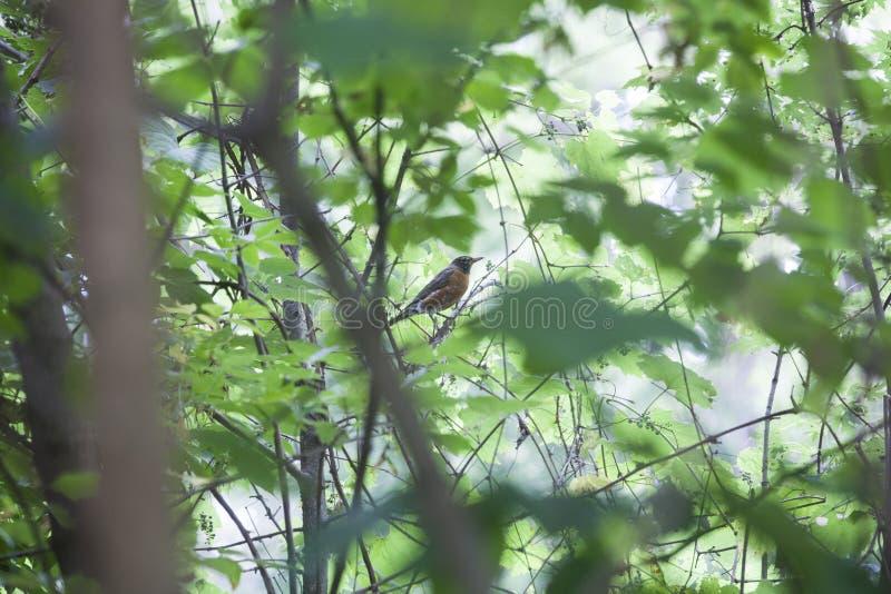 Robin Perched dans un arbre feuillu photographie stock
