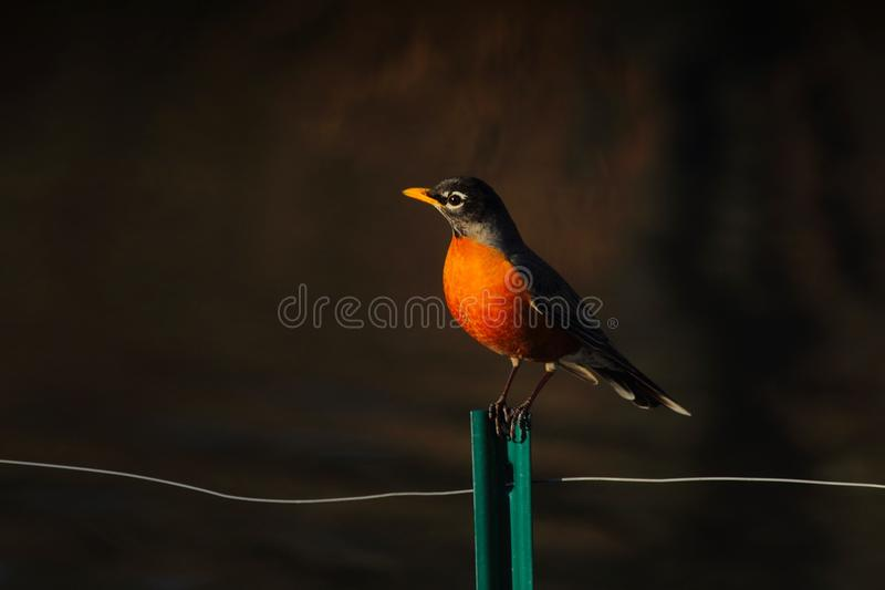 Robin Perched On Fence Free Public Domain Cc0 Image