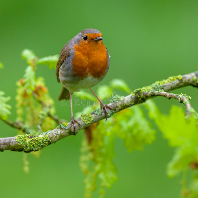Robin perched on oak branch with fresh leaves. Red robin Erithacus rubecula perched on flowering oak branch with fresh leaves as a concept for spring time royalty free stock image