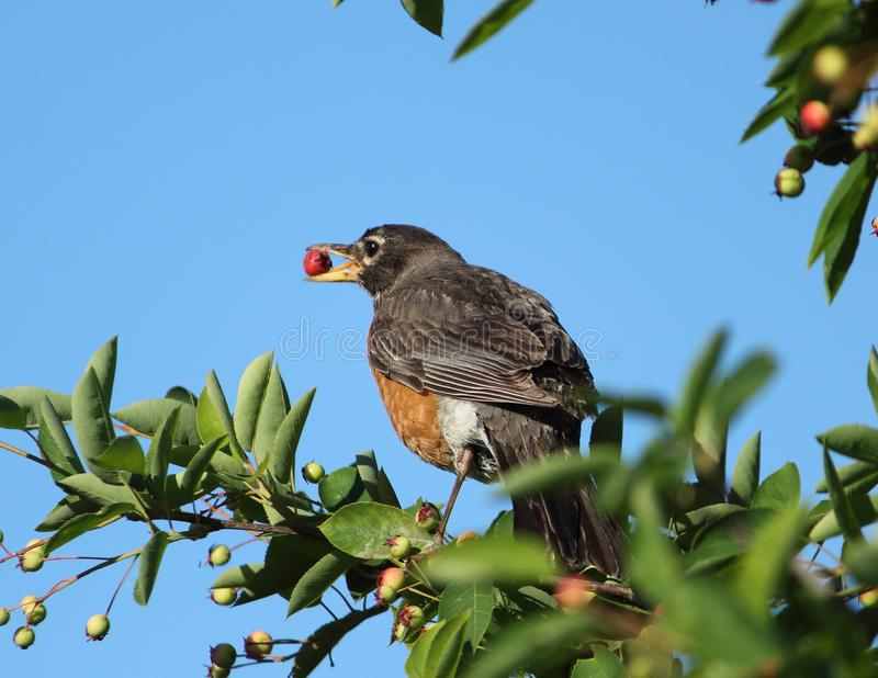 Robin Perched In Tree Laden avec des baies photographie stock