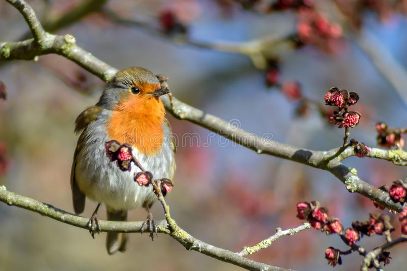 A Robin perched on a wig stock photo
