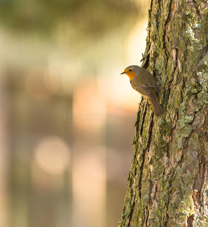 Robin on pine log royalty free stock images