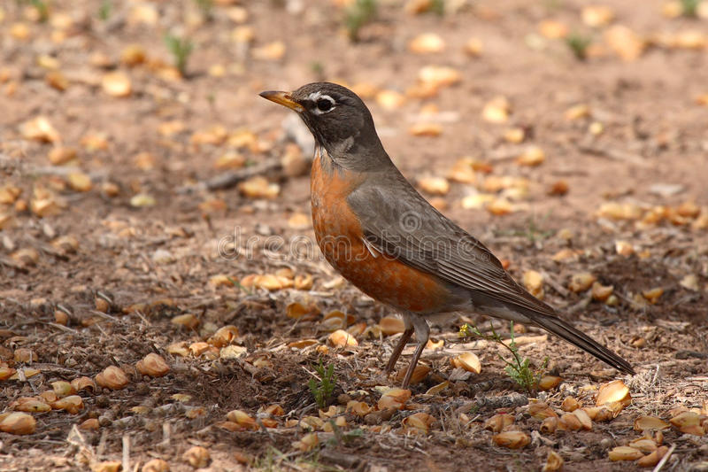 Download Robin Pointing With Beak stock image. Image of spring - 39514931