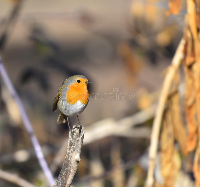 Robin posed on branch. Looking ahead royalty free stock image