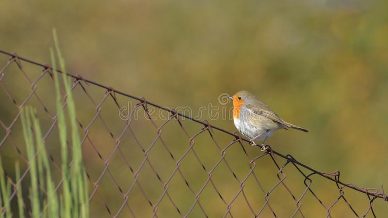 Robin posed on the edge of a fence. Looking far away royalty free stock images
