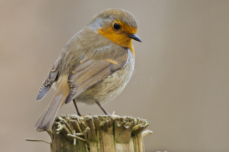 Robin. Posing on a post royalty free stock image