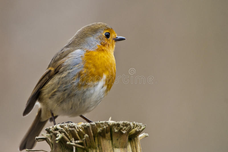 Robin. Posing on a post royalty free stock photography