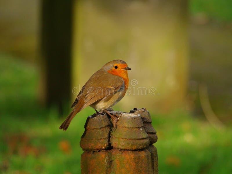Robin on a post stock photos