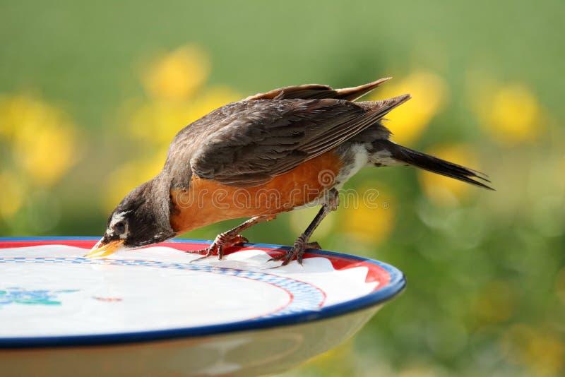 Robin potable image libre de droits