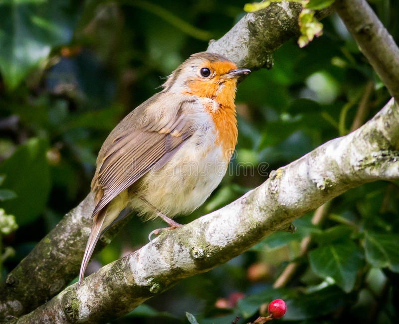 Robin and red berry royalty free stock photo
