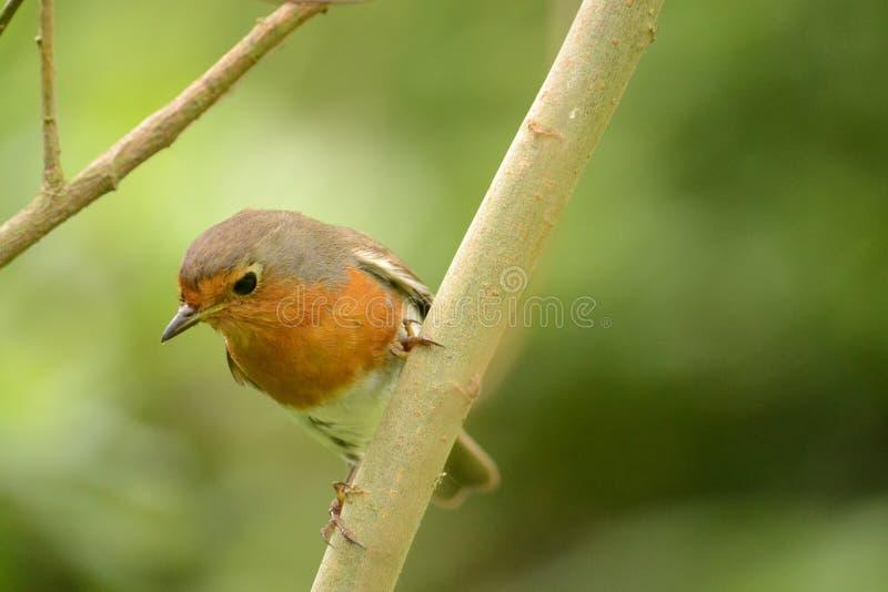 Download Robin Red Breast imagen de archivo. Imagen de fondo, pájaros - 41908301