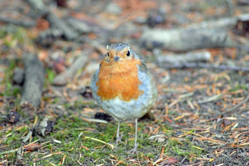 Robin Red Breast fotografie stock libere da diritti