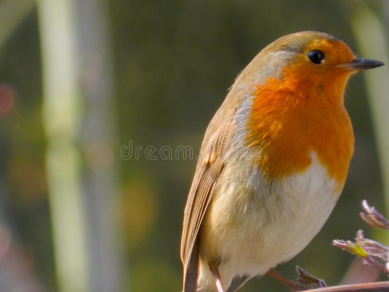 Robin Red Breast fotos de stock royalty free