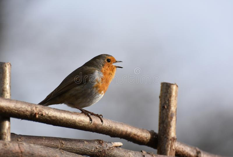 Robin Bird Singing in the Sunshine. A Robin red breast bird perches on a wooden fence singing - UK February 2019 stock photography