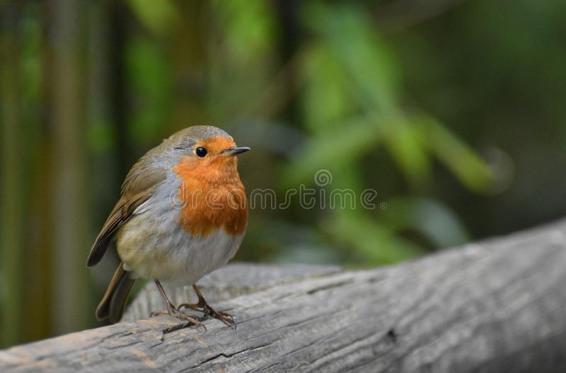 Robin Red Breast Bird Portrait royalty free stock images