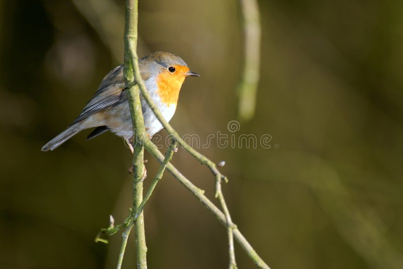 Download Robin Red Breast On  Branch Stock Image - Image: 4376123