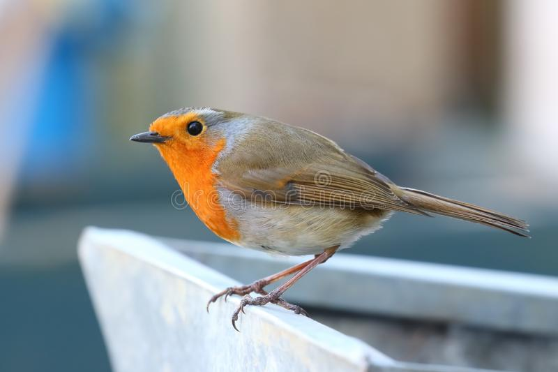 Robin Red Breast On Flower Pot. There was a pair of Robins in my garden this week. This one was happy to sit 2 ft away from me royalty free stock images