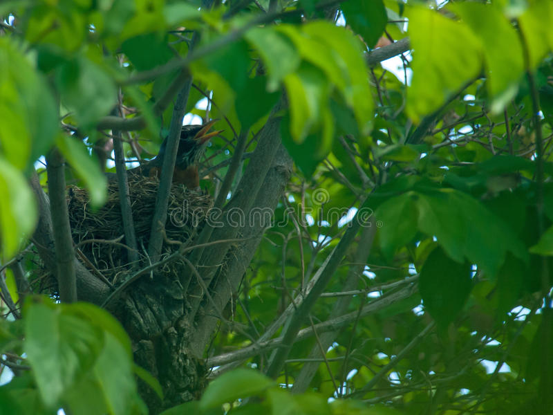 Robin Red Breast in a Nest in a Dogwood Tree. Robin Red Breast in a Nest in a Green Leafy Dogwood Tree stock images