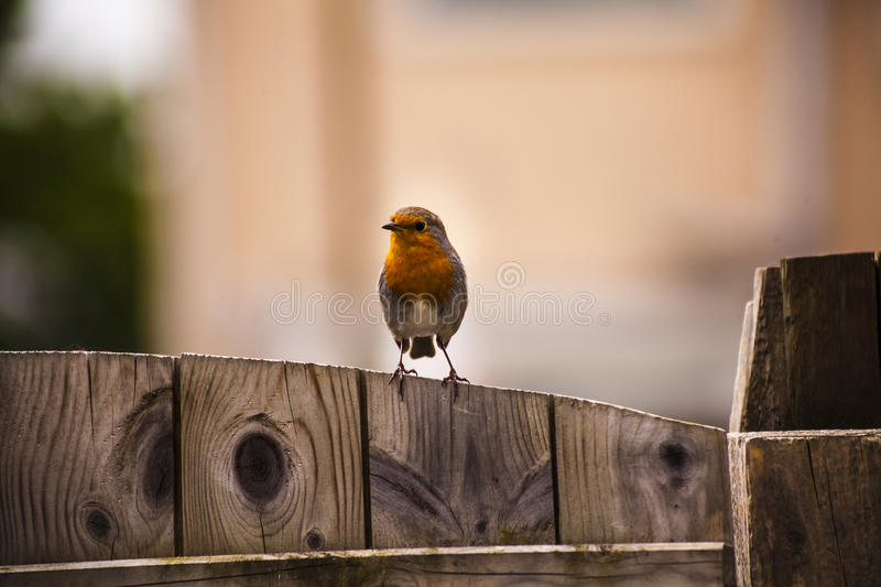 Robin red breast pearched on a gate royalty free stock image