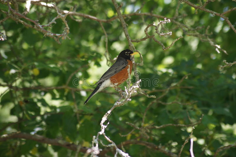 Robin Red Breast Perching royaltyfria bilder