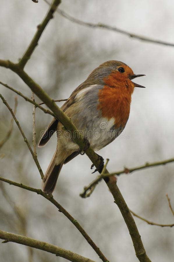Robin red breast singing in dorset woodland stock photo