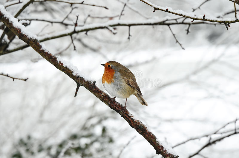 Robin redbreast. Perched on a snow covered tree branch royalty free stock photos