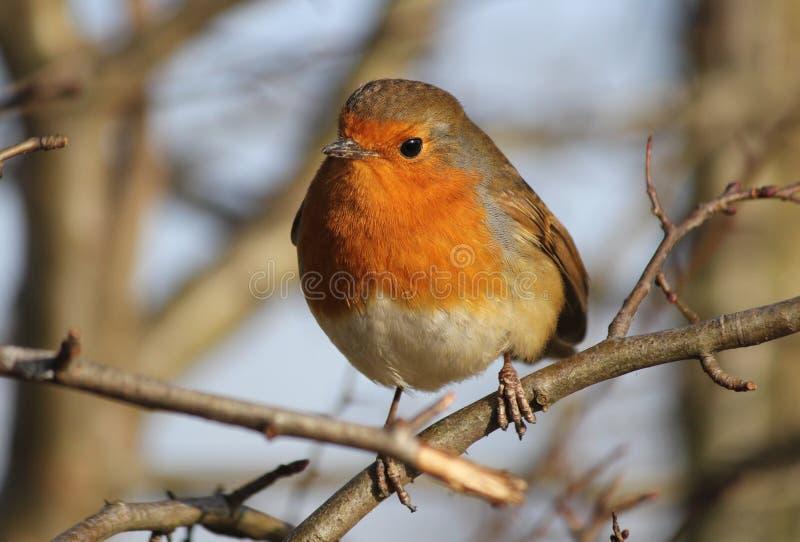 Robin Redbreast royalty-vrije stock fotografie