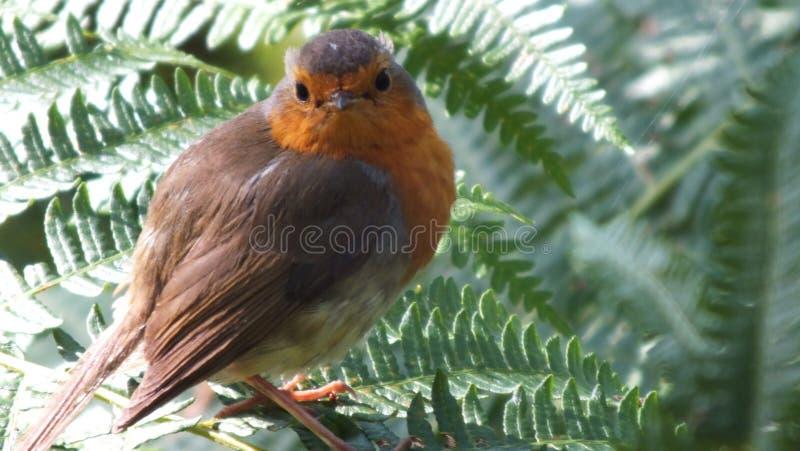 Robin Redbreast arkivfoto