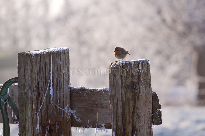Robin redbreast. A robin redbreast on a winter's day royalty free stock image