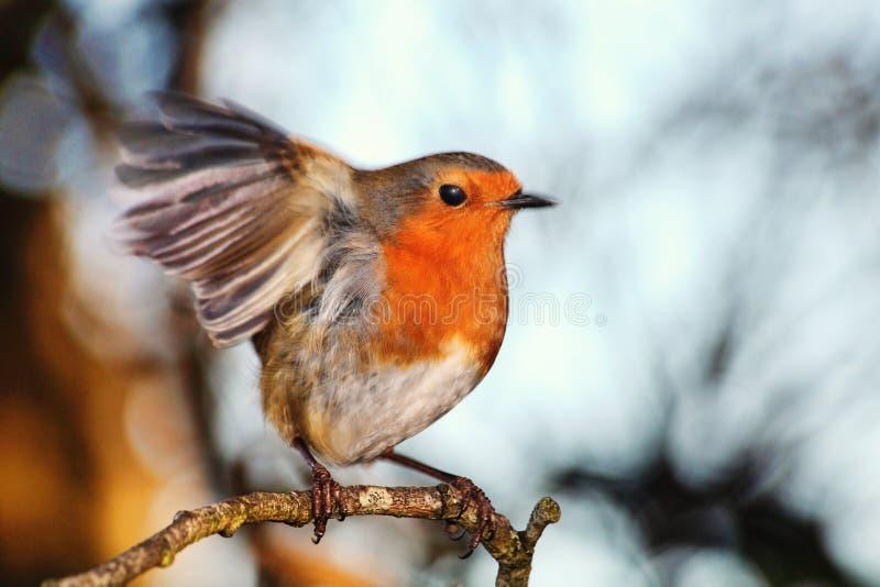 Robin Redbreast στοκ φωτογραφία με δικαίωμα ελεύθερης χρήσης