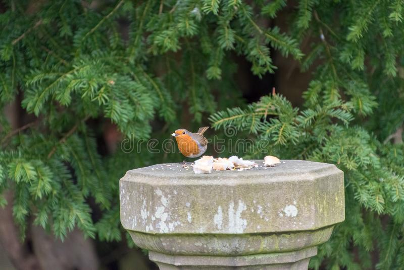 Robin Redbreast bird. Eating bread royalty free stock photo