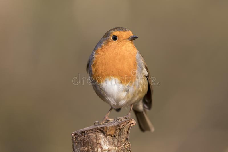Robin redbreast bird, erithacus rubecula perched on a branch royalty free stock images