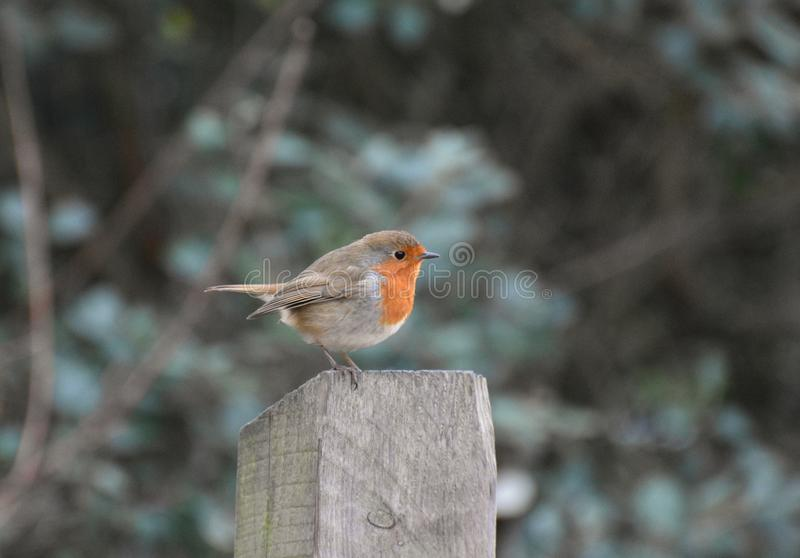 Robin Redbreast Bird. A European robin redbreast song bird perched on a wooden fence post royalty free stock photography