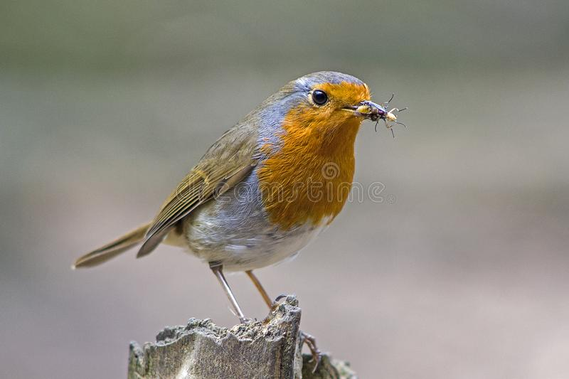 A robin redbreast bird perched on a tree stump. A shot of a robin redbreast bird perched a tree stump in local woodlands stock image
