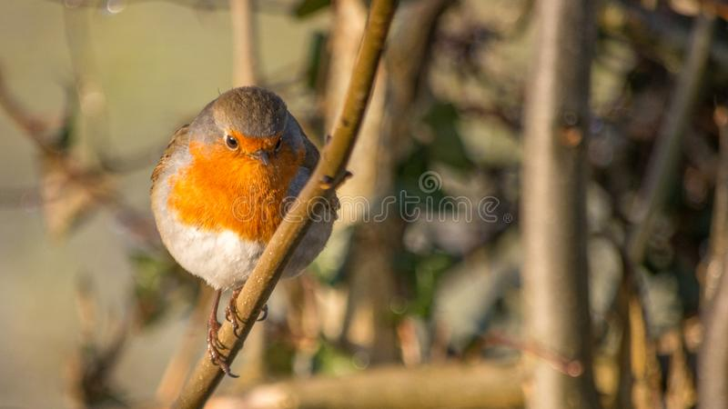 Robin redbreast bird perched on a twig in winter looking straight forward. At camera royalty free stock photos